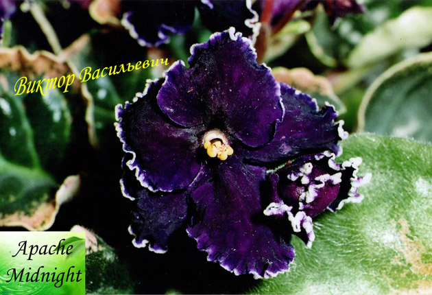 Крупные полумахровые цветы насыщенно